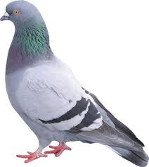 USDA to Exempt Pigeons, Doves from Bird Flu Import Rule...